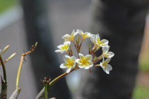 White and yellow frangipani or plumeria flowers on a tree